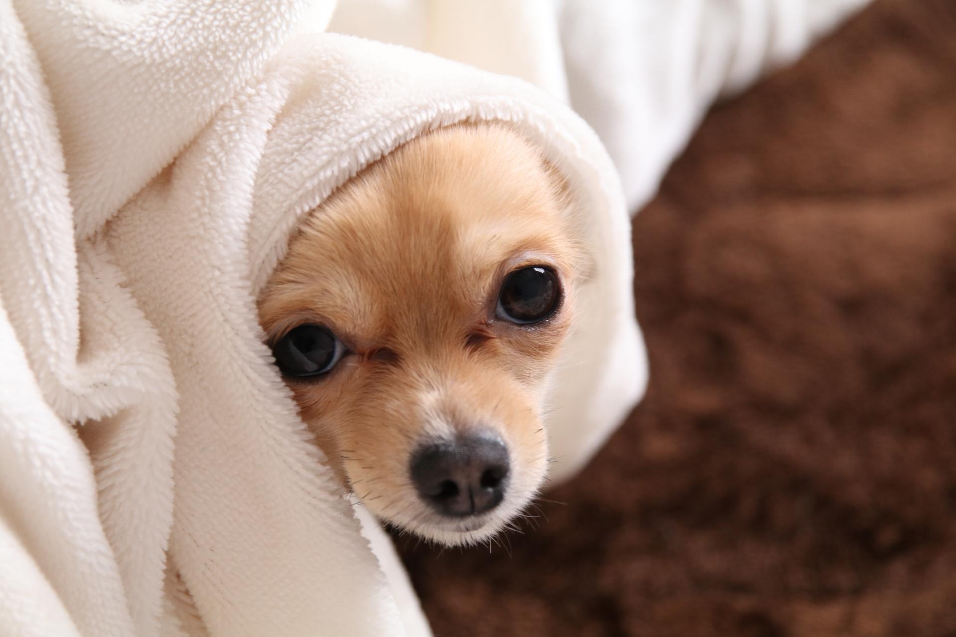 犬用タオルのおすすめ6選!お風呂上がりもすばやく乾く