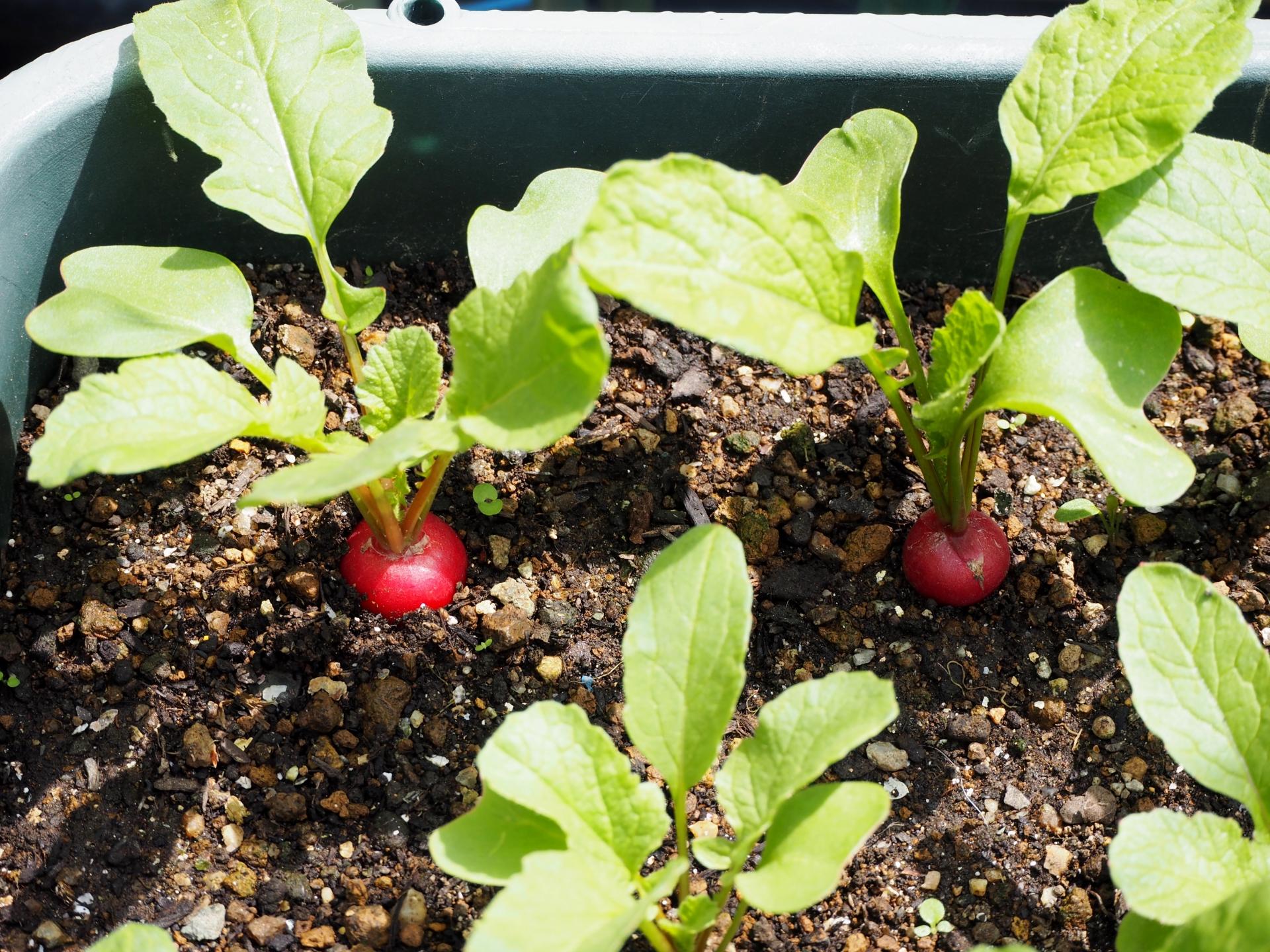 家庭菜園向けの植物おすすめ17選!ベランダや室内で簡単野菜づくり