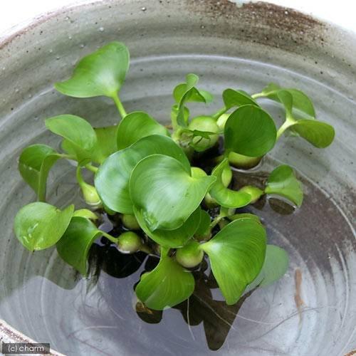 ビオトープ向け水草のおすすめ10選!越冬できる水草も