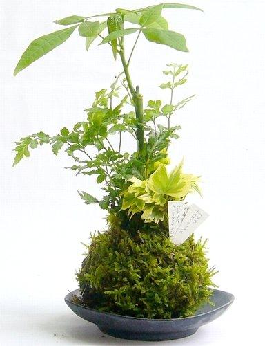 栽培向けの苔おすすめ9選!苔テラリウムや苔玉キットも