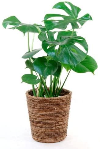 観葉植物のおすすめ18選!初心者向けや室内で育てやすい大型も