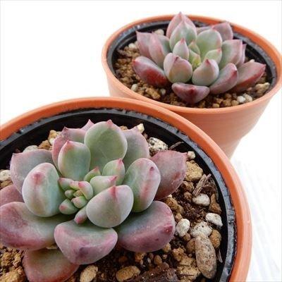 多肉植物のおすすめ12選!寒さに強い冬型も